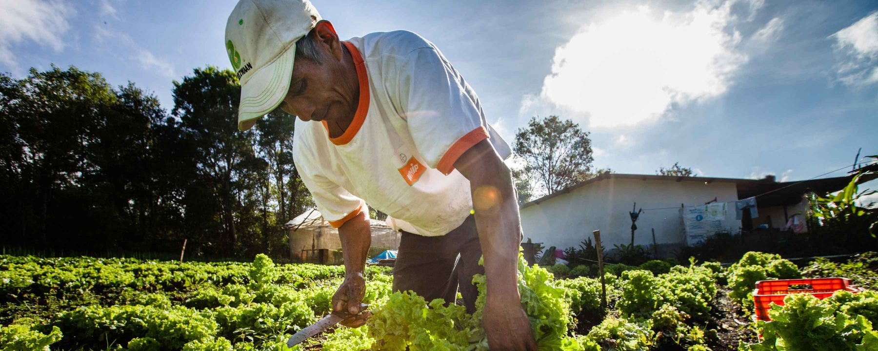 Man harvests lettuce in Intibuca